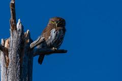Clarke_181020_8563.jpg (www.raincoastphoto.com) Tags: birds glaucidiumgnoma birdsofbritishcolumbia owls birdsofcanada birdsofnorthamerica northernpygmyowl