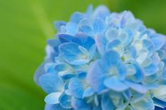 DSC_0075 (Lyn_roc) Tags: gibbsgardens garden flower flora nikon d3200 leaves leaf petals green blue hydrangea