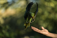 """WHAT?!"" (PChamaeleoMH) Tags: birds centrallondon feeding hands interaction london parakeet people ringneckedparakeets stjamesspark"