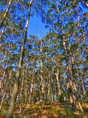 Australian forest talls I (elphweb) Tags: hdr highdynamicrange nsw australia forest bush tree trees wood woods spottedgum spottedgums spottedgumtrees
