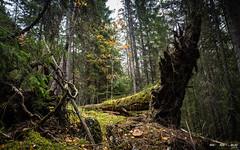 Urskog-3844 (jarud) Tags: 2018 norge norway notodden urskog