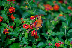 Butterfly (Phet Live) Tags: