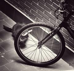 Cualquiera puede esconderse.Enfrentarnos a los problemas y buscar la solución es lo que nos hace fuertes. (elena m.d.) Tags: gato cat monocromo felino nikon d5600 sigma sigma105 guadalajara elena bicicleta curvas