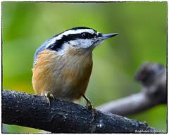 Red-breasted Nuthatch (RKop) Tags: nuthatch feeders raphaelkopanphotography cincinnati ohio wildlife