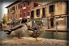 Le anatre (Michelecimitan) Tags: michelecimitan canards ducks anatre murano canal eau water acqua venise venice venezia vénétie veneto italie italy italia europe europa picturesque geotagged