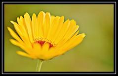 "28/100 for ""100 Flowers 2018"" (NikonShutterBug1) Tags: nikond7100 tokina100mm nature wildlife bokeh spe smartphotoeditor closeup macro flower flora 100flowers2018"