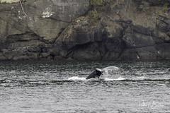 humpback-7008 (pmbell64) Tags: washington unitedstates us
