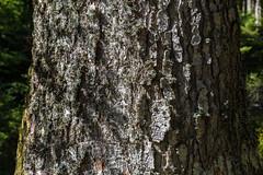 Baum (JBsLightAndShadow) Tags: schwarzwald südschwarzwald todtmoos lebküchlerweg deutschland blackforest southernblackforest germany badenwürttemberg baden sommer sommer2018 2018 summer summer2018 wandern wanderung hiking hike outdoors outdoor nature natur nikon d750 nikond750 tamron tamronsp2470mmf28divcusd