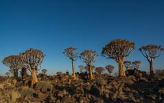 quiver trees (Karl-Heinz Bitter) Tags: afrika keetmanshoop namibia africa karasregion quivertree trees bäume himmel landscape landschaft karlheinzbitter