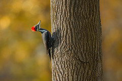 Pileated woodpecker in the fall (captured views) Tags: pileatedwoodpecker woodpecker connecticutbirding bird fall autumn capturedviews capturingthelivinglandscape nature ashtree pileatedfemale