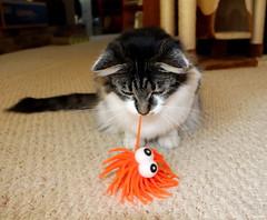 """This doesn't taste like chicken!!"" (Lisa Zins) Tags: cat kitten feline lisazins elijah toy cattoy orange eyes play playing tabby dmh"