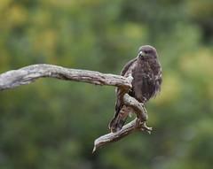 Buse variable (guiguid45) Tags: nature sauvage oiseaux bird rapaces loiret forêt forêtdorléans d810 nikon 500mmf4 busevariable buteobuteo commonbuzzard accipitridés accipitriformes affût