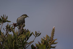 180924_Singing Honeyeater_01 (Pusher141) Tags: d750 nikon nikkor200500 pusher141 singinghoneyeater bird birds ornithology backyard sky tree