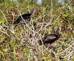 09-22-18-0035868 (Lake Worth) Tags: animal animals bird birds birdwatcher everglades southflorida feathers florida nature outdoor outdoors waterbirds wetlands wildlife wings