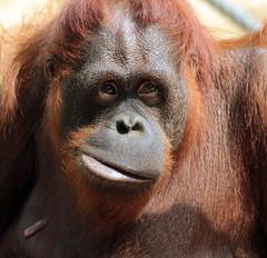 orangutan duisburg 094A1372 (j.a.kok) Tags: orangutan orangoetan animal aap ape duisburg mammal monkey mensaap asia azie zoogdier dier primate primaat