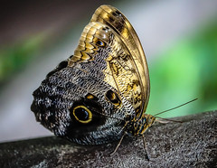 Owl Butterfly (JKmedia) Tags: macro sonyrx10iii butterfly chesterzoo closeup boultonphotography 2018 insect