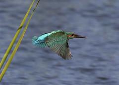 Kingfisher (alcedo atthis) (Steve Ashton Wildlife Images) Tags: kingfisher common commonkingfisher alcedo atthis alcedoatthis