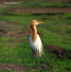 IMG_5729 Cattle Egret-Breeding Plumage (Bubulcus ibis) (vlupadya) Tags: greatnature animal aves fauna indianbirds cattle egret nreeding plumage bubulcus kmalyadi karnataka
