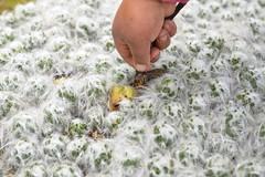Día 1 - Rontoccocha y Apurímac (Programa Bosques Andinos) Tags: marino cactus macro peru bosquesandinos nicolas villaume