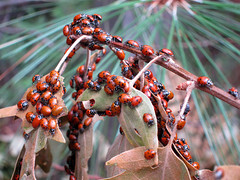 Ladybug swarm (pr0digie) Tags: oakhurst brownsditch flume trail hike ladybug swarm infestation tree branch ladybird beetle coccinellidae plague