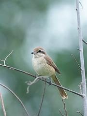 Brown Shrike (WilliamPeh) Tags: olympus omd em1 birds birding wild wildlife explore shrike brown