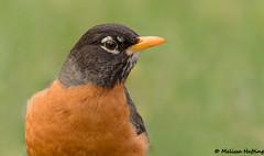 American Robin (Turdus migratorius) - Furry Creek, BC (bcbirdergirl) Tags: male americanrobin squamish bc portrait seatosky turdusmigratorius thrush thrushes furrycreek howesound squamishlillooetregionaldistrict