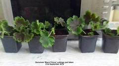 Geranium 'Black Prince' cuttings just taken 21st September 2018 (D@viD_2.011) Tags: geranium black prince cuttings just taken 21st september 2018