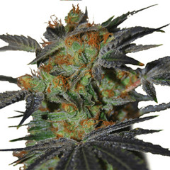 agent-orange-seeds-fem_large (Watcher1999) Tags: feminized seeds agent orange cannabis medical marijuana growing strain kush skunk splif weed weeds smoking ganja legalize it joint