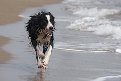 Chasing the Waves (Johan Konz) Tags: energetic dog bordercollie running chasing waves water beach serignanplage france mediterraneansea nikon d7500 animal action