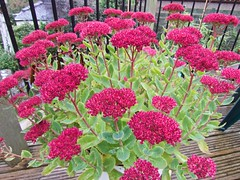 2474 Ice plant - Hylotelephium spectabile