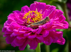 Grasshopper in a Flower (Jim Frazier) Tags: public garden 2018 2018cantigny2018 animals bloom blooming blossoming blossoms botanic botanicgarden botanicalgarden botanicalgardens bugs burgeoning burgeons cantigny cantignypark class closeup detail dupage dupagecounty fauna flora floral flourishing flowering flowers gardening gardens grasshoppers growing horticulture il illinois insects jimfraziercom macro museum natural nature park parks photo photoclass photowalk pink plants preserve q3 september study wheaton wildlife f10