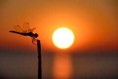 I'll tell you a secret ... (Raquel Borrrero) Tags: sunset dragonfly libélula damselfly insect insecto puestadesol sol playa beach sea mar coucherdesoleil soleil sun orange naranja atardecer reflection reflejos contraluz backlight backlighting