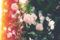 Hibiscus-y Bokeh