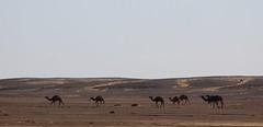 Camels (jmaxtours) Tags: camels sahara moroccan