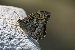 サトキマダラヒカゲ (m-louis) Tags: 70300mm j4 neopegoschkevitschii nikon1 bug butterfly insect japan kyoto サトキマダラヒカゲ タテハチョウ チョウ 京都 日本 蝶 100faves explore