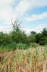 Cattails in the Dry Pond (Caroline Kutchka Folger) Tags: cattails pond plants flora england uk chesire manchester walk nature summer august travel kodak400 kodakfilm canonrebel analog
