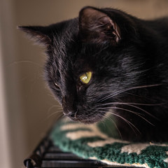 Kitty Pryde13Oct201821.jpg (fredstrobel) Tags: pawsatanta atlanta places pets animals ga usa pawscats cats decatur georgia unitedstates us
