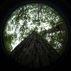 Trunk to Canopy (Sean Anderson Media) Tags: treetrunk bark sonya7sii nature forest woods tree meike65mmf2fisheyelens fisheye fisheyelens manuallens wideangle vignette