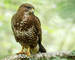 Buzzard (www.neilporterphotography.com) Tags: buzzard bird pray wildlife