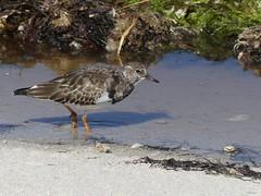 Tournepierre à Collier - Arenaria Interpres (Danygin) Tags: tournepierreàcollier arenariainterpres ruddyturnstone charadriiformes scolopacidés