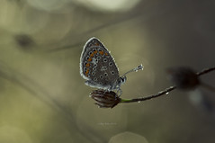Sweet witch (oskaybatur) Tags: butterfly waterdroplets closeup macro nature kelebek brownargus çokgözlüesmer dof bokeh pentaxkr samyang100macro pentaxart justpentax türkiye turkey turkei oskaybatur 2018 çerkezköy autumn september eylül sonbahar morning dew çiy polyommatusagestis manualfocus mf
