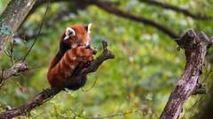 With my cover... (ZeGaby) Tags: animals animaux firefox nature naturephotography panda pandaroux parcdesaintecroix pentaxda300mm pentaxk1