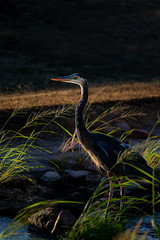 Blue Heron enjoying the sunset