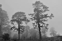 At Dochula: more trees (victoriaei) Tags: dochula 3100m asia bhutan kingdomofbhutan chorten october 2016 autumn mist memorial nikon d5300 drukwangyal trees blackwhite