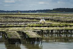 Qui si allevano ostriche... (Renato Pizzutti) Tags: ostriche cancale bretagna allevamentidiostriche molluschi mare nikond750 renatopizzutti