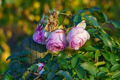 everything beautiful has an end (skp-mm) Tags: blume garten makro rose golden herbst autumn