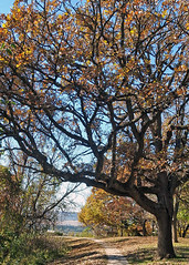 Majestic (DewCon) Tags: autumn oaktree buenavistapark