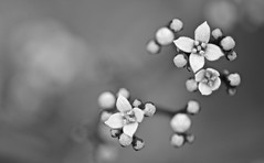 Small and beautiful (setoboonhong) Tags: nature outdoor flowers small buds blooms monochrome bw macro depthoffield bokeh blur melbournebotanicalgarden hmbt