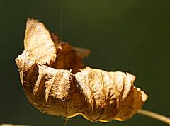 Hanging on (SteveJM2009) Tags: macromondays crinkledwrinkledfoldedorcreased autumn leaf dof detail dying dead veins dry kingstonlacy dorset uk october 2018 stevemaskell