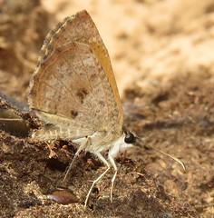 Zopyrion evenor (Birdernaturalist) Tags: bolivia butterfly hesperiidae lepidoptera pyrginae pyrgini richhoyer skipper